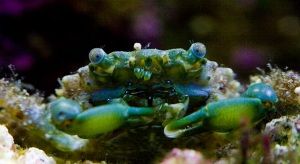 Jade the Emerald Crab