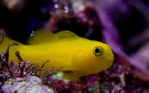 Sunny -  Yellow Clown Goby